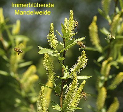 Salix_triandra_breit_Schr.jpg